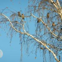 Свиристели и луна :: Алексей Масалов