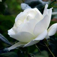 Роза белая. :: Валерьян