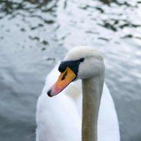 Лебедь на реке Иль :: Андрей Володин