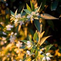 Цветы лимона :: Астарта Драгнил