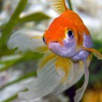 Шерон - золотая рыбка) :: Валентина M