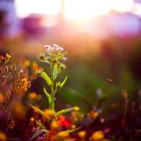Полевые цветы на закате :: Lena Popova