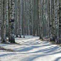 Весенние тени на зимнем снегу. :: Владимир Гилясев