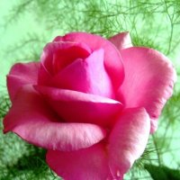 Розовая роза :: Самохвалова Зинаида
