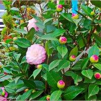 Камелия цветёт... :: Юрий Владимирович
