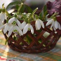 первенцы весны :: Светлана