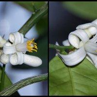 Цветы лимона :: Alex Sash