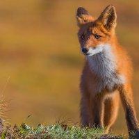 Осторожный лис :: Денис Будьков