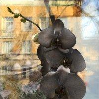 Черная орхидея. :: Anna Gornostayeva