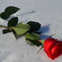 Роза :: Вера Андреева