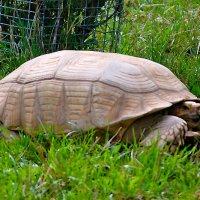Черепаха :: Nikolay Monahov