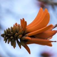 Коралловое дерево (Эритрина, Erythrina caffra) :: Александр Деревяшкин