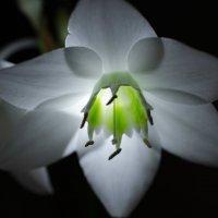 Фотосессия одной лилии :: Ольга Савотина