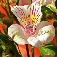 Улыбка цветка :: Лидия (naum.lidiya)