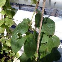 А так растёт киви :: Galina194701