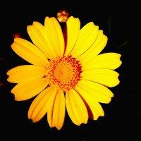 Желтая ромашка :: Viktor Makarov