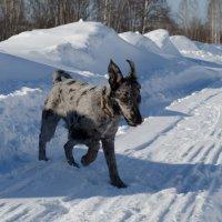 Собака-гуляка :: Наталья Зинченко