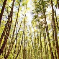 Солнечный лес :: Юрий Кольцов