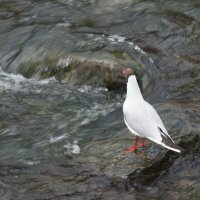 чайка на реке :: Влада Лаптева