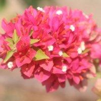 Цветы Индии. :: maikl falkon