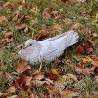Белый голубь :: Дмитрий Глушко