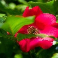 Роза в саду. :: Татьяна Калинкина