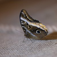 Бабочка :: Евгения Кирильченко