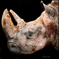 Старый носорог. The old Rhino. :: krivitskiy Кривицкий