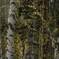 Весенняя мелодия берёзового леса. :: nadyasilyuk Вознюк