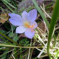 Горный цветок у тропы туристической :: Сергей Анатольевич