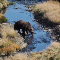 медведь :: владимир