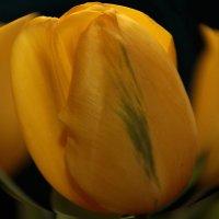 Tulip :: Лариса Корж