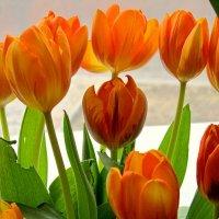 Тюльпаны на окне :: Сергей Карачин