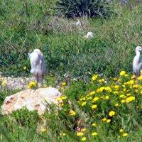 Белые цапли. :: Валерьян