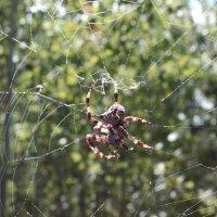 паук :: Анжелика