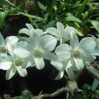 Орхидеи  2009 - Таллиннский Ботанический Сад :: laana laadas