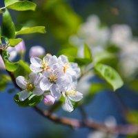 Яблонька в цвету :: Юрий Кащенко