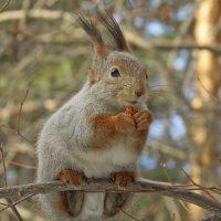 На ветке с орешком :: Александр Смирнов