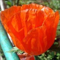 Алый шёлк майского мака :: Нина Корешкова