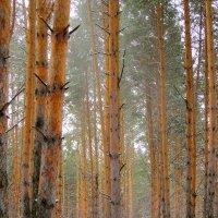 Геометрия леса в лёгкой дымке . :: Мила Бовкун