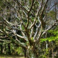 Ficus :: Slava Hamamoto