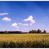 пшеница  золотая.... :: георгий петькун