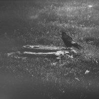 печаль-это ворон клюющий душу... :: Ольга Юшина