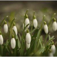 Весны фонарики в саду на клумбе. :: Елена Kазак