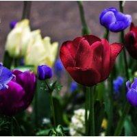 Кекенхоф (Keukenhof) – Национальный парк цветов в Нидерландах... :: Александр Вивчарик