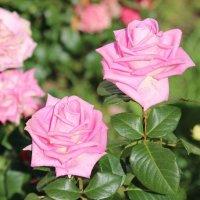 Розы :: Андрей Чазов