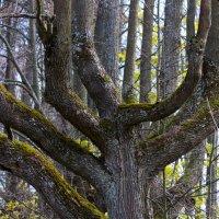 Дерево :: Оксана Пучкова