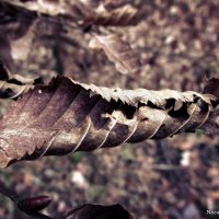 Листок, який пережив зиму :: Nazar Guziy