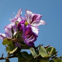 Орхидейное дерево Баухения :: Александр Деревяшкин