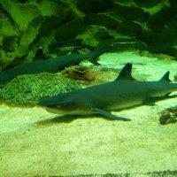Акулы :: Алена Дион